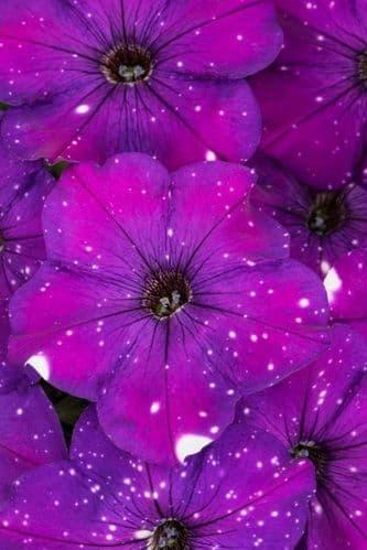 Petunia WFL® Constellation® Aires